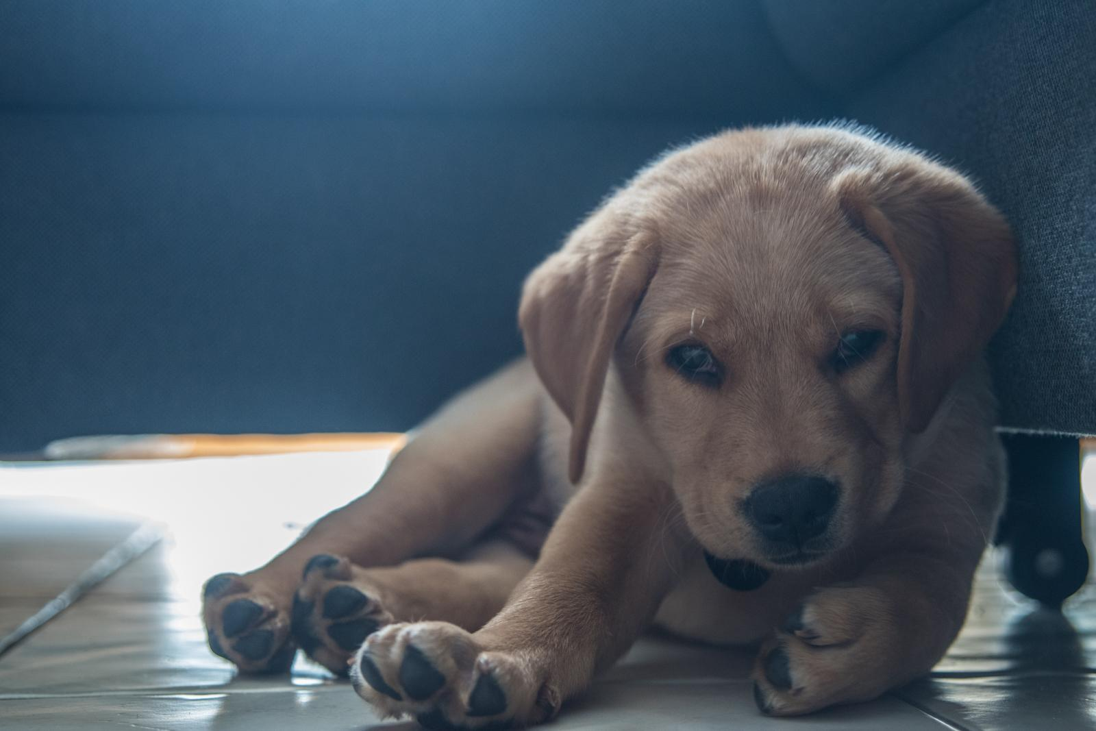 Tierfotograf-Labrador-Sven's Bildwerke-Hund-Hundefotografie20