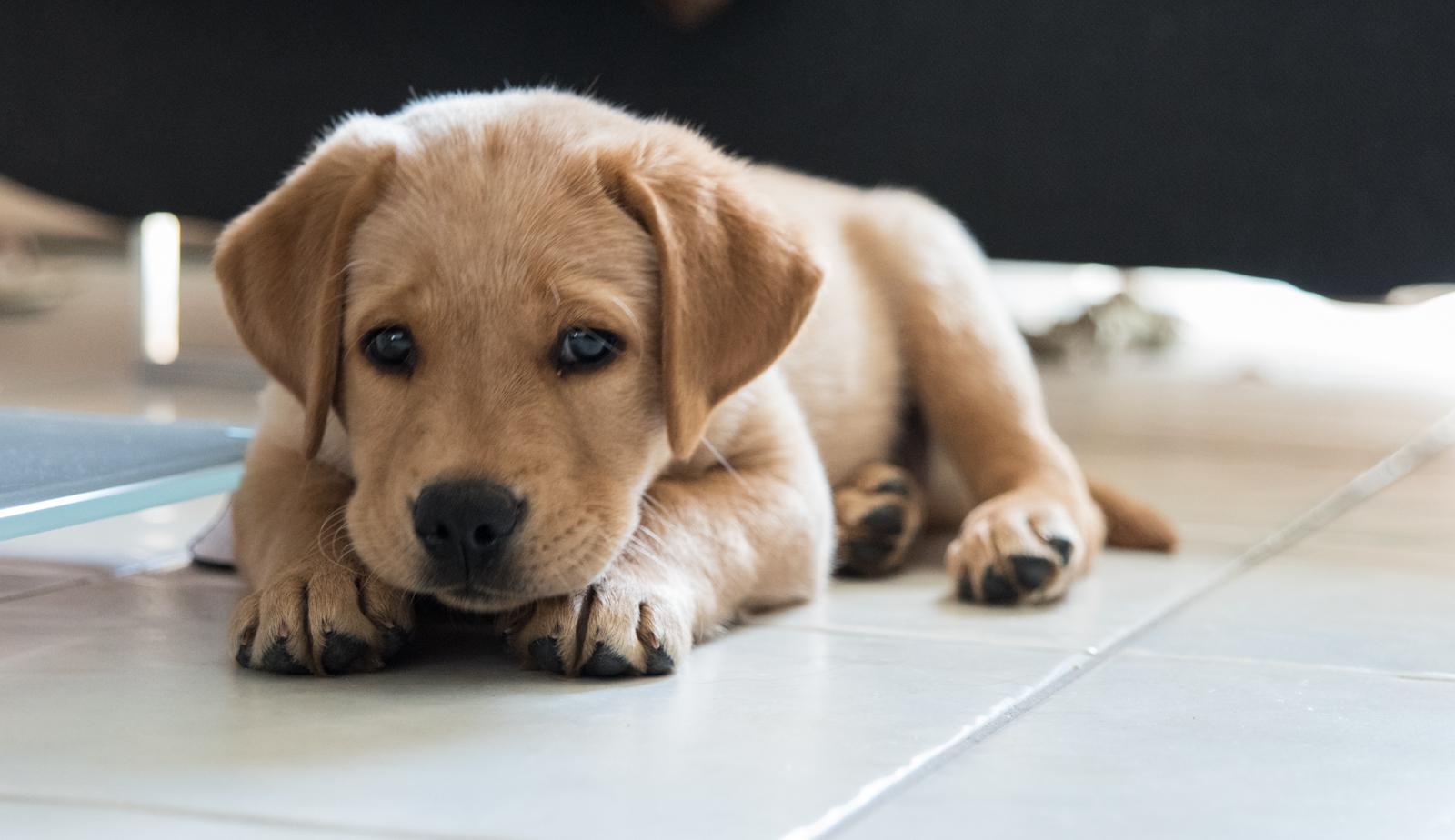 Tierfotograf-Labrador-Sven's Bildwerke-Hund-Hundefotografie19