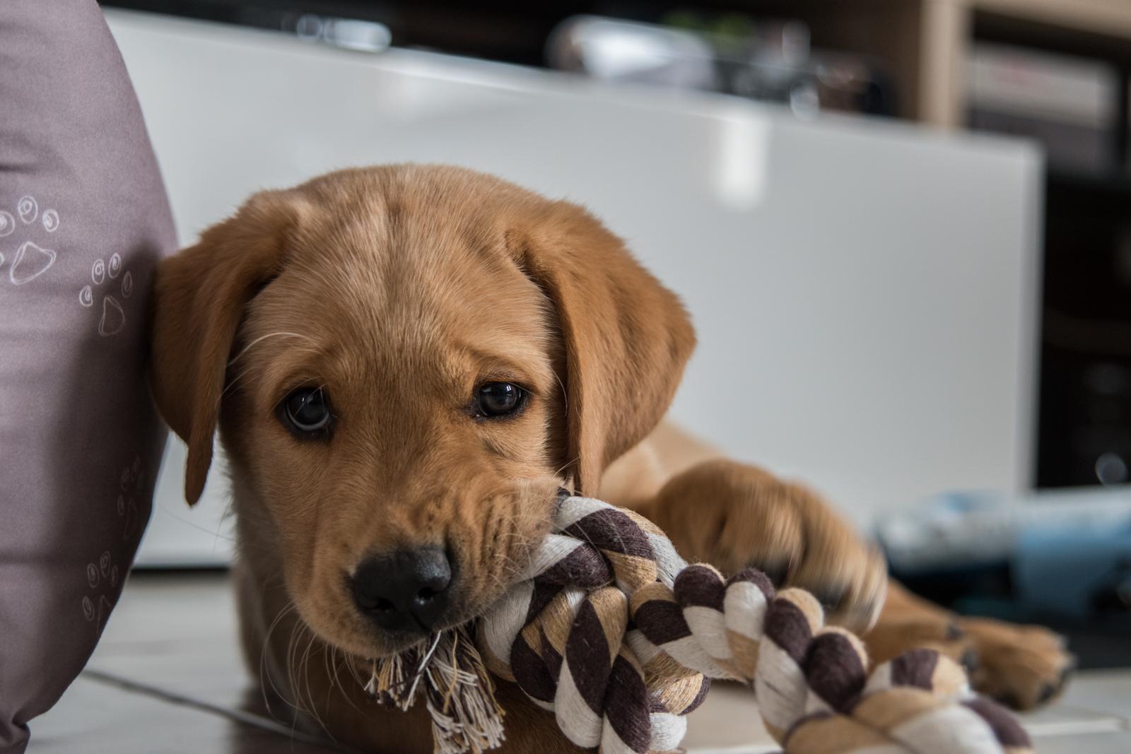 Tierfotograf-Labrador-Sven's Bildwerke-Hund-Hundefotografie18
