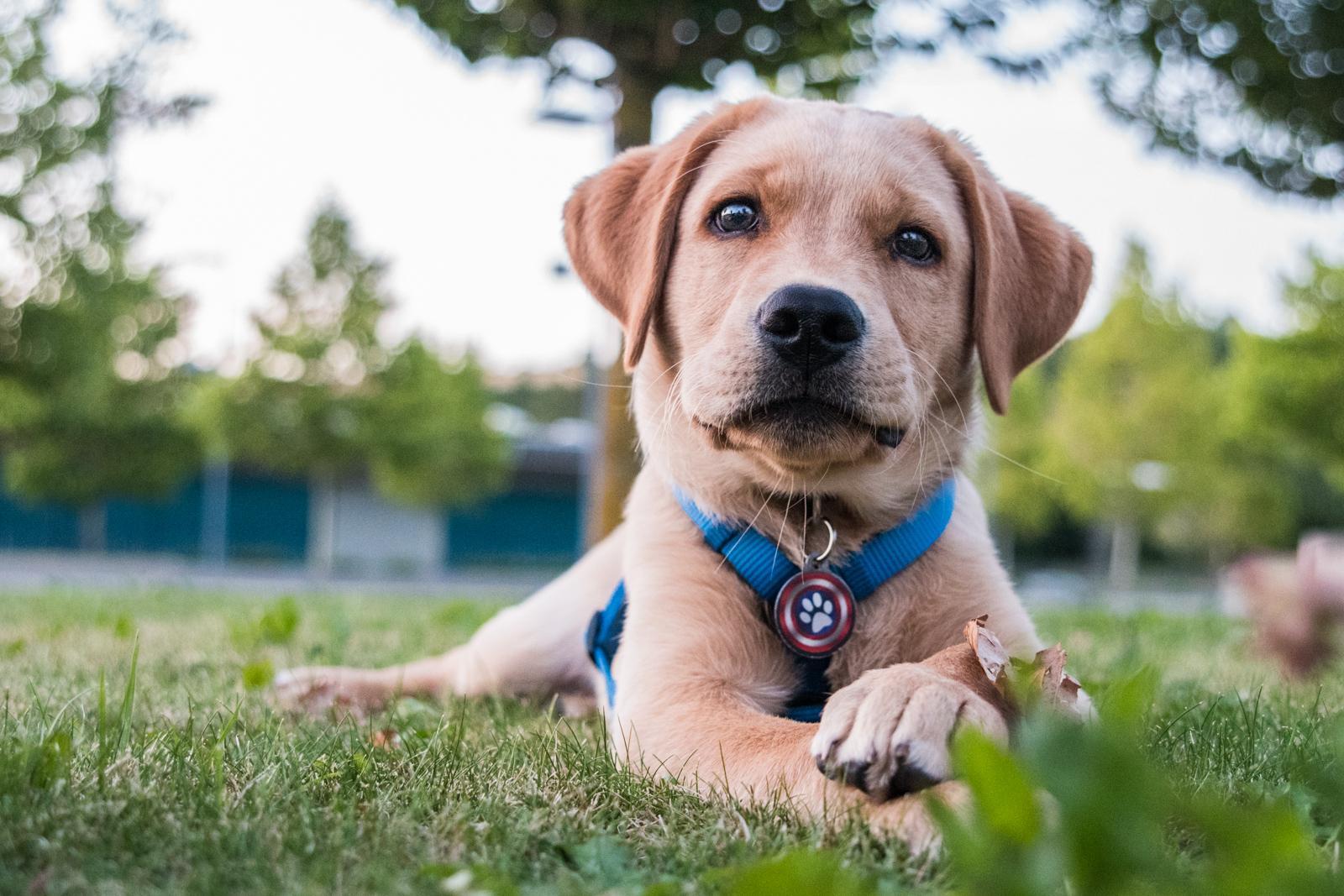 Tierfotograf-Labrador-Sven's Bildwerke-Hund-Hundefotografie15