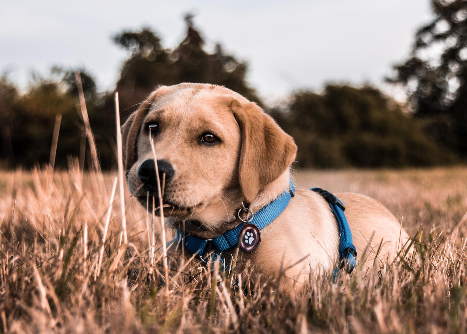 Tierfotograf-Labrador-Sven's Bildwerke-Hund-Hundefotografie14