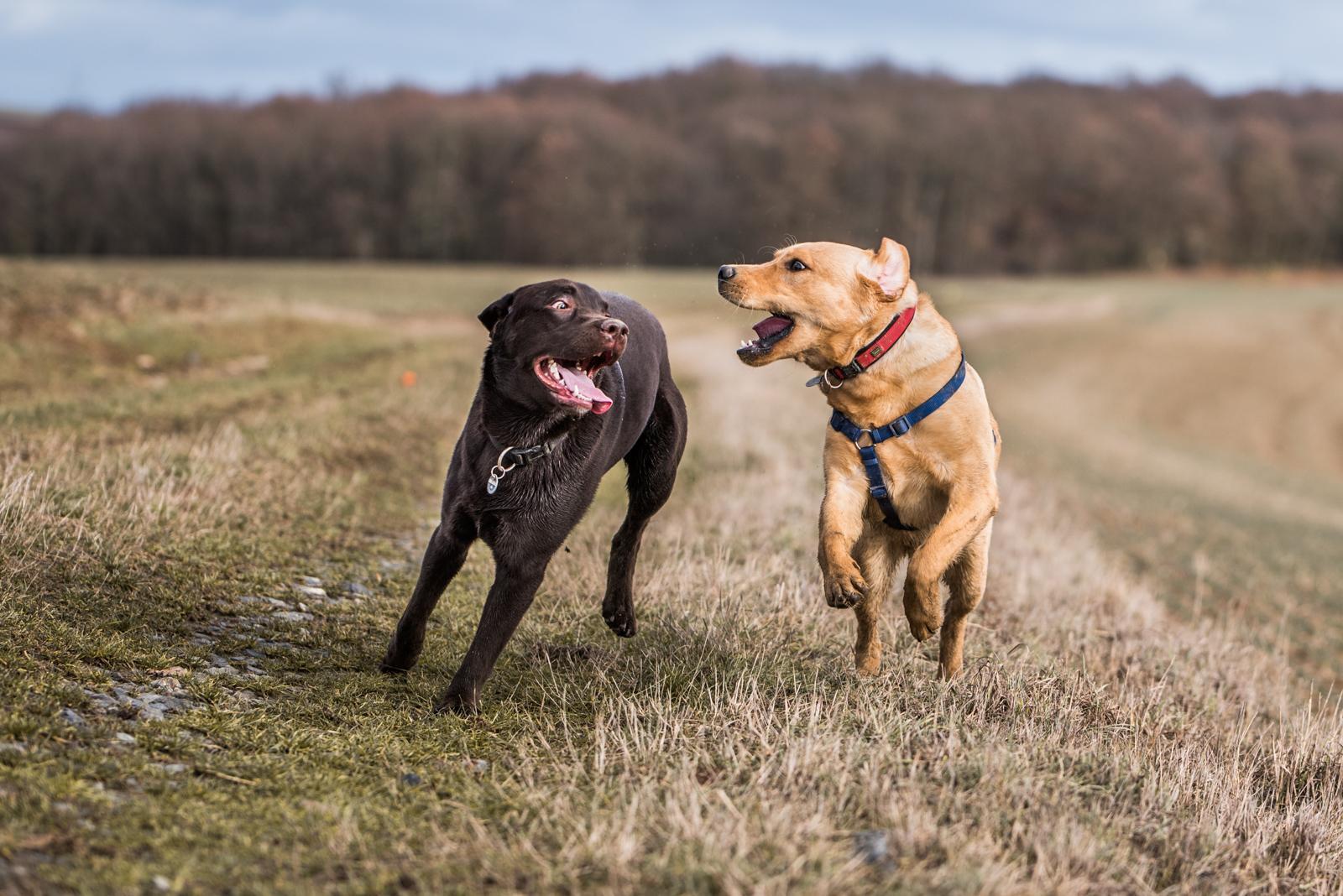 Tierfotograf-Labrador-Sven's Bildwerke-Hund-Hundefotografie12