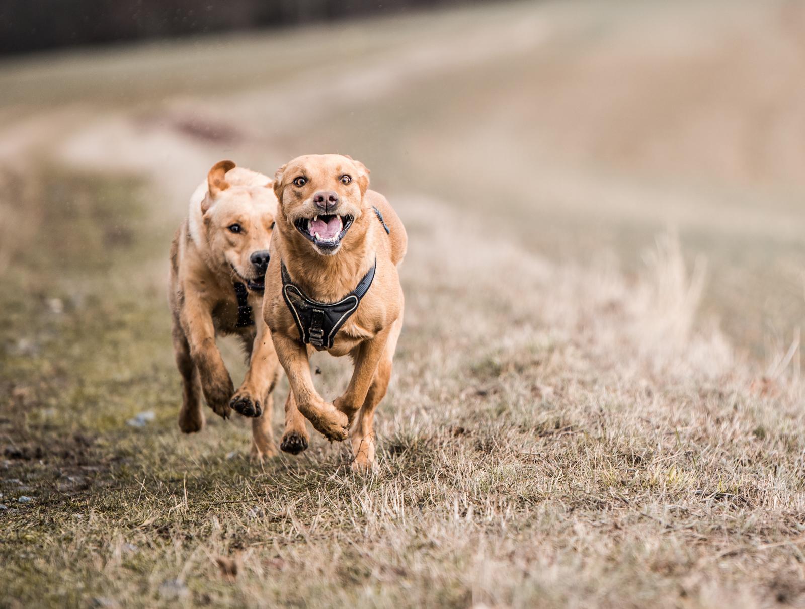 Tierfotograf-Labrador-Sven's Bildwerke-Hund-Hundefotografie11