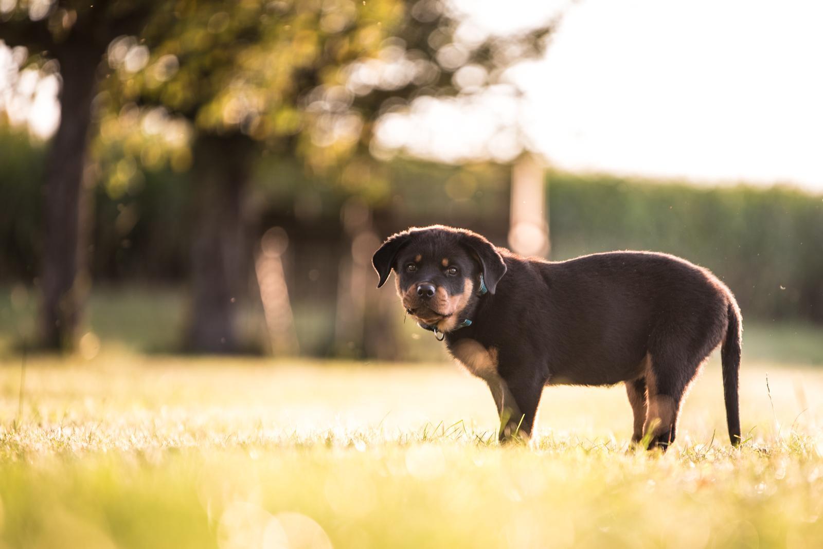 Tierfotograf-Labrador-Sven's Bildwerke-Hund-Hundefotografie6