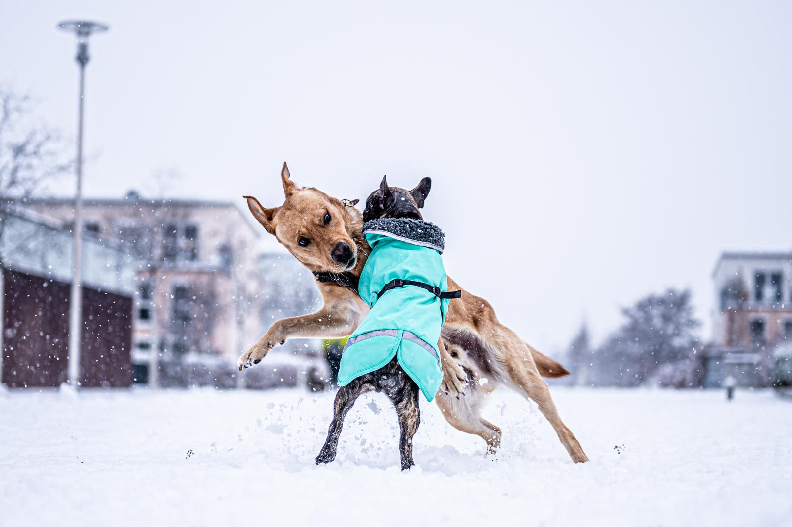 Tierfotograf-Labrador-Sven's Bildwerke-Hund-Hundefotografie23