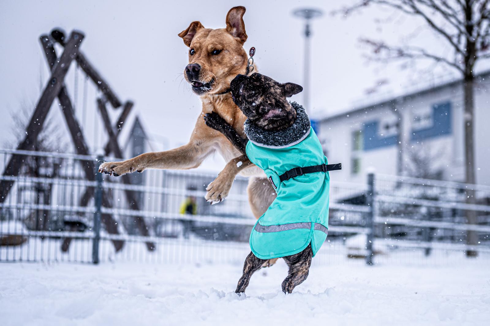 Tierfotograf-Labrador-Sven's Bildwerke-Hund-Hundefotografie22
