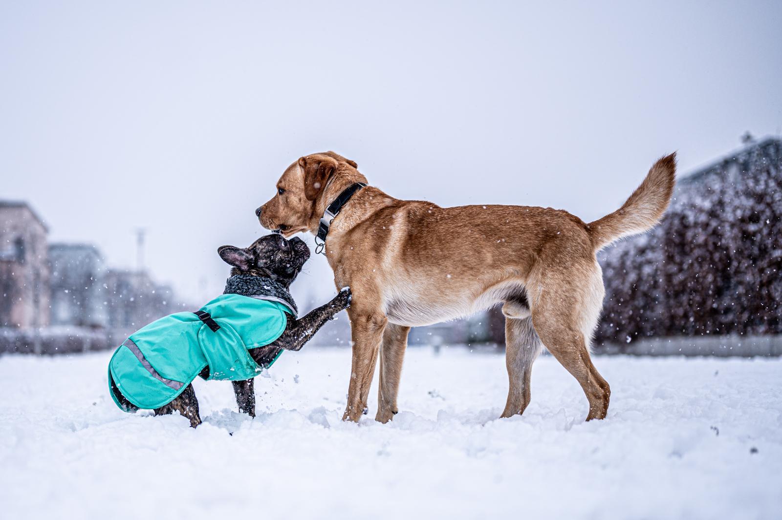 Tierfotograf-Labrador-Sven's Bildwerke-Hund-Hundefotografie21