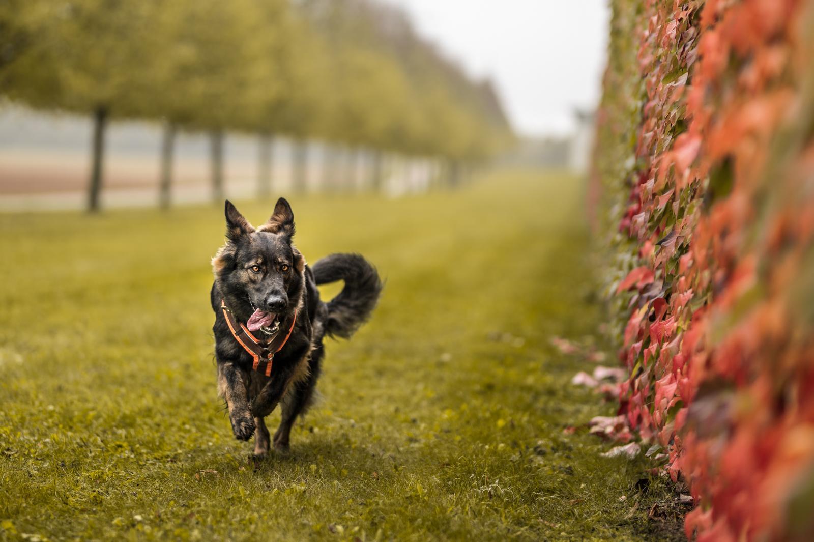 Tierfotograf-Labrador-Sven's Bildwerke-Hund-Hundefotografie10