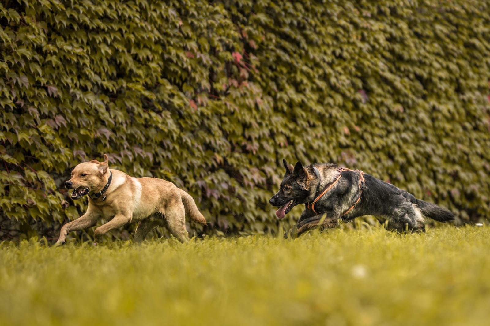 Tierfotograf-Labrador-Sven's Bildwerke-Hund-Hundefotografie9