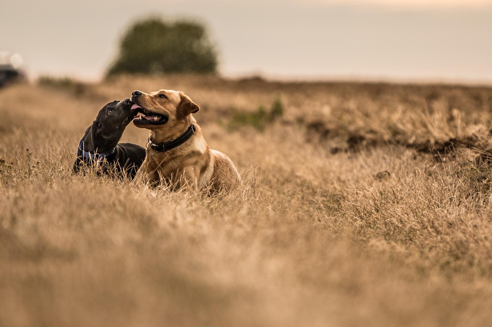 Tierfotograf-Labrador-Sven's Bildwerke-Hund-Hundefotografie8